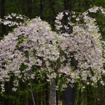 image of tree in blossom