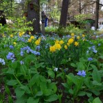 image of flower bed featuring daffodils