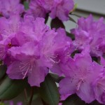 image of pink blossoms