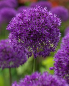 allium-purple-sensation2