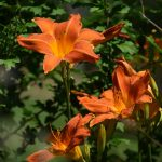 Lucy's lilies