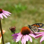 Butterfly visiting echinacea